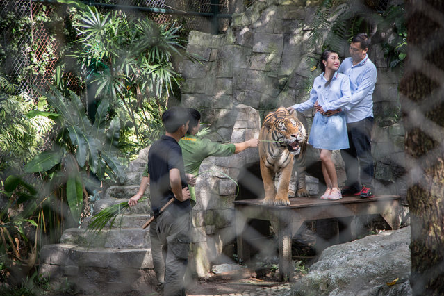 """A Thai couple seen taking pictures next to a tiger in the tourist attraction """"Tiger Kingdom"""" on September 21, 2019 in Chiang Mai, Thailand. Despite the Wildlife authorities effort to raided a Buddhist temple (Tiger Temple) from Kanchanaburi Province in 2016, where 137 tigers were kept and freed them into the wild 3 years later, where about 86 of them already died due to radical life change (captivity to the wild) animal abuse is still a common things in Thailand where other tigers still remain kept in small cages like in this 'Tiger Kingdom' tourist attraction complex, where tigers are under sedative to let the tourists took pictures next to them the whole day. Many animals are used in shows across the world, for the purpose of financial gain and entertainment, despite the objections of animal rights defenders. World Animal Day, an international day of action for animal rights and welfare celebrated annually on October 4. The mission of World Animal Day, is """"To raise the status of animals in order to improve welfare standards around the globe. Building the celebration of World Animal Day unites the animal welfare movement, mobilising it into a global force to make the world a better place for all animals"""". (Photo by Stringer/Anadolu Agency via Getty Images)"""