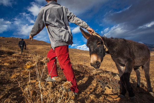 """""""Norbu's Donkey Friend"""". 12 year old Norbu, pulls his donkey up the hill in a remote village in Spiti Valley in the Indian state of Himachal Pradesh. """"He doesn't like to climb a hill, so we have to pull it up to the road and then ride him back to the village"""", says Norbu. Riding a donkey is a favourite hobby of many local kids of the region. Photo location: Tashi Gang, Lahaul Spiti, Himachal Pradesh, India. (Photo and caption by Himanshu Khagta/National Geographic Photo Contest)"""