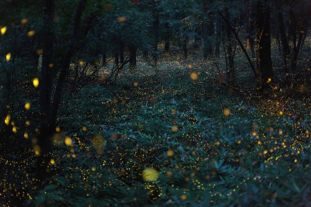 """""""A flight of hime botaru fireflies (Hotaria parvula), or """"princess fireflies"""", in the woods flicker together in a warm, orange hued light. Locals call them """"golden fireflies"""". Although each one is only about 5mm in size, the flight can create a spectacle that seems to come from a fairy tale world"""". – Takehito Miyatake. (Photo by Takehito Miyatake/Steven Kasher Gallery)"""