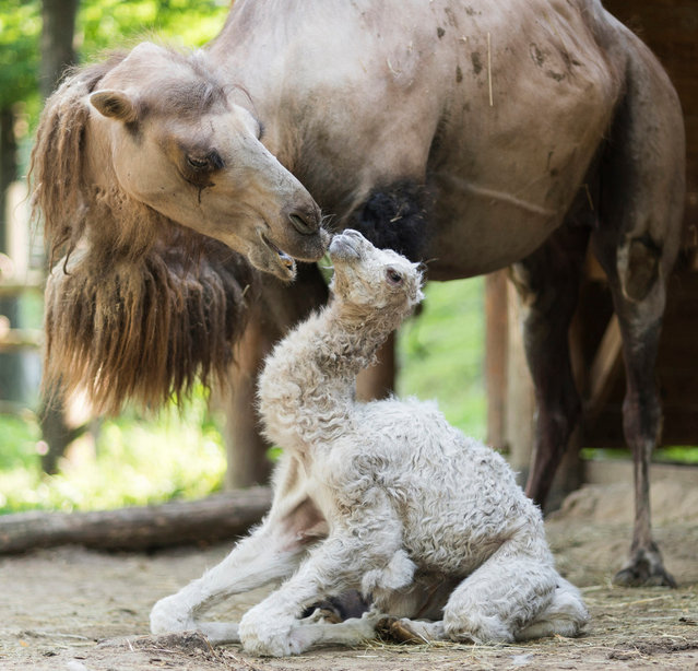 A newborn bactrian camel (Camelus bactrianus) is nozzled by her mother in their enclosure in the Nyiregyhaza Animal Park in Nyiregyhaza, 227 kms east of Budapest, Hungary, 28 June 2017. The baby was born weighing 15 kilograms and wearing white fur. Unlike Arabian camels, which have a single hump, Bactrian camels have two humps and are endangered. (Photo by Attila Balazs/EPA)