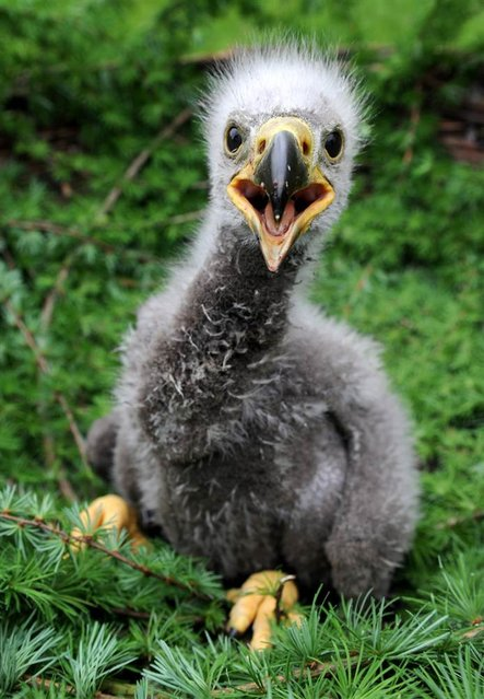 A baby sea eagle sits in a nest at a wild animals park in Eekholt, northern Germany, on May 15, 2012