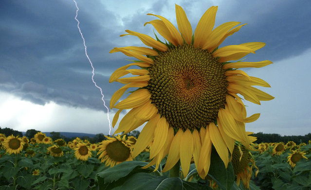 A sunflower field is seen in stormy weather near Donzere, southern France, August 5, 2011. (Photo by Pascal Rossignol/Reuters)