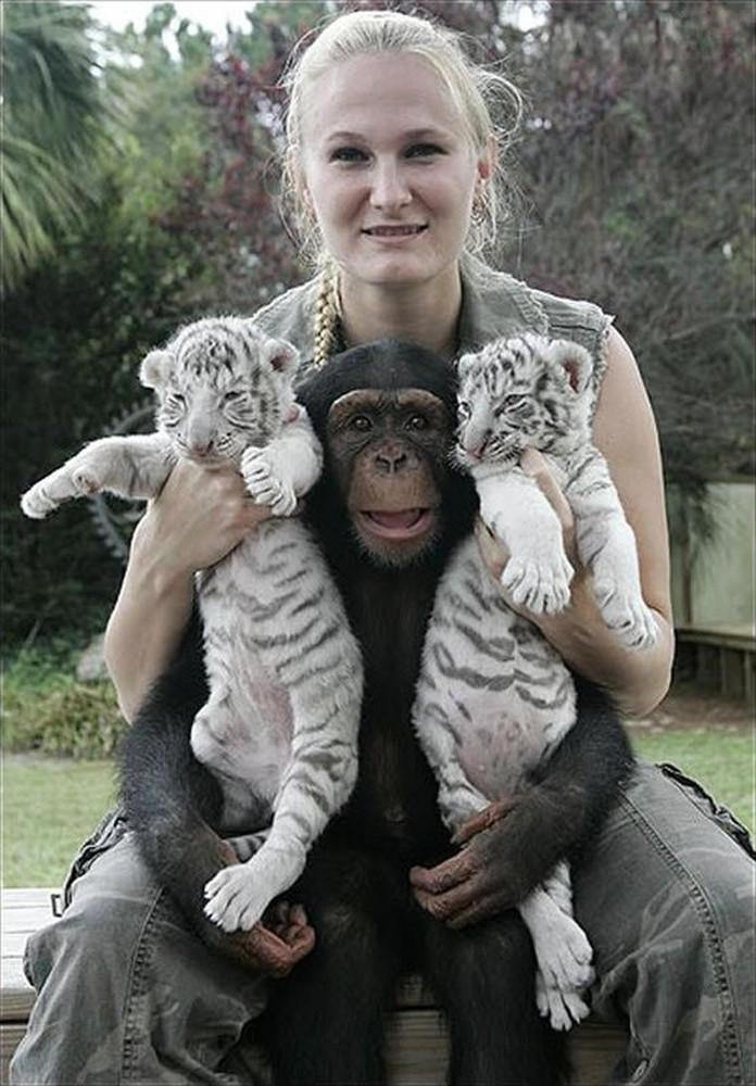 Chimp Mothers Tiger Cubs