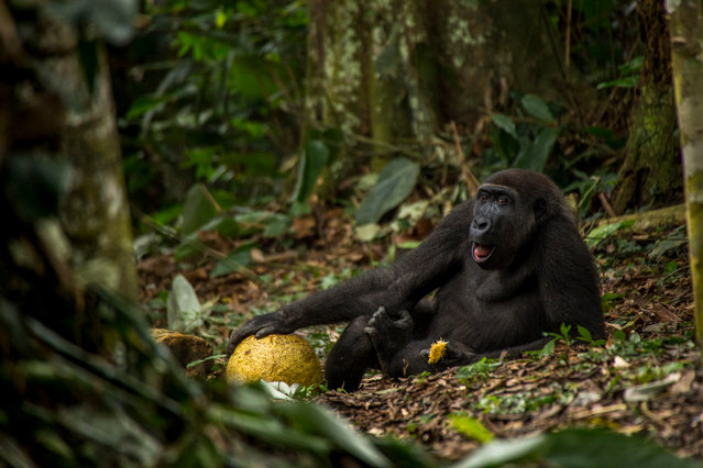 Young Wildlife Photographer of the Year (Also winner 15-17 years old category). The Good Life by Daniël Nelson, The Netherlands. Daniël met Caco in Odzala national park in the Republic of Congo. Here, Caco is feasting on a fleshy breadfruit. He is about nine years old and preparing to leave his family. Western lowland gorillas are critically endangered, threatened by illegal hunting for bushmeat, disease (notably the Ebola virus), habitat loss and the impact of climate change. (Photo by Daniel Nelson/Wildlife Photographer of the Year 2017)