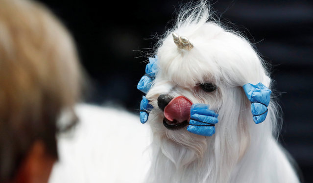"A dog awaits the competition during the ""World Dog Show"" in Leipzig, Germany, November 10, 2017. (Photo by Hannibal Hanschke/Reuters)"