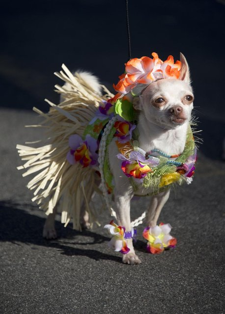 A dog in a hula outfit marches in a Halloween dog costume parade and contest in Long Beach, California, October 28, 2012. (Photo by Robyn Beck/AFP Pfoto)