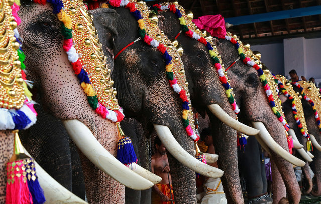 Caparisoned elephants take part in the annual Vrischikolsavam festival, which features a colourful procession of decorated elephants along with drum concerts, at a temple in Kochi, November 18, 2017. (Photo by Sivaram V/Reuters)