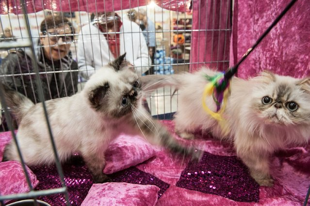 Cats play as they are kept in a cage during the first day of the Super Cat Show 2014, on November 8, 2014 in Rome, Italy. (Photo by Giorgio Cosulich/Getty Images)