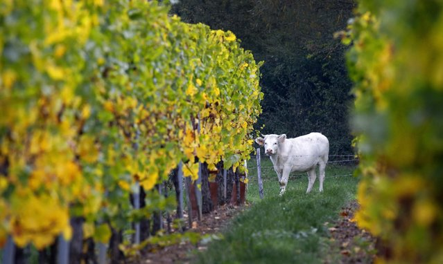 A cow stands a vineyard with yellow leaves as autumn colors are mark the change of season in Soultz in the Alsace region of France, October 13, 2015. (Photo by Jacky Naegelen/Reuters)
