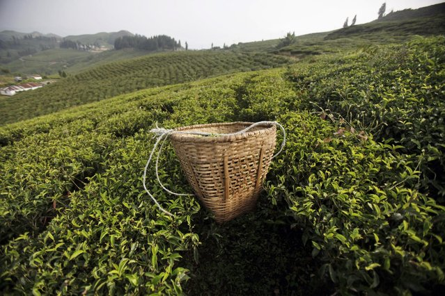 In this Sunday, November 16, 2014 photo, a basket filled with tea leaves lies on a tea field at Kanyam in Illam district, around 500 kilometers (310 miles) from Katmandu, Nepal. (Photo by Niranjan Shrestha/AP Photo)