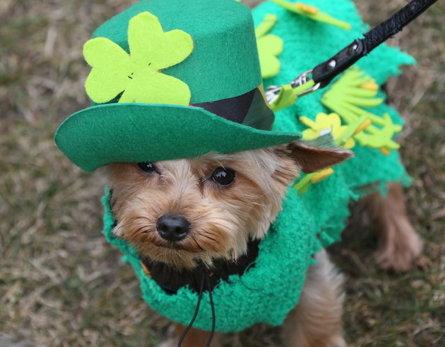 Dog Mixie is dressed up in green for a St. Patrick's Day parade on the Irish national holiday in Berlin, Germany, Sunday, March 17, 2013. The parade was organized by the German-Irish community. (Photo by Stephanie Pilick/AP Photo)