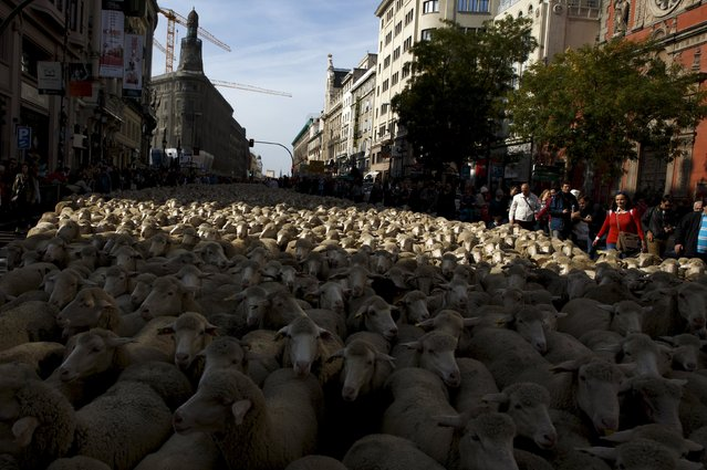 People watch a flock of sheep during the annual sheep parade through Madrid, Spain, October 25, 2015. (Photo by Sergio Perez/Reuters)