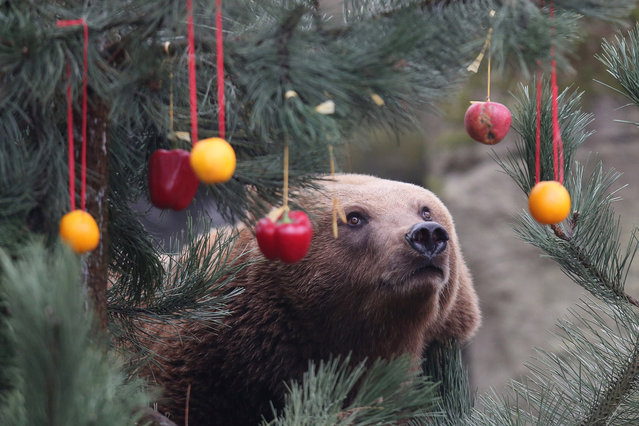 A Kamchatka brown bear  looks at a Christmas tree decorated with fruit and vegetables  in  the enclosure  at the Hagenbeck zoo in Hamburg, northern Germany, Friday December 5, 2014. (Photo by Malte Christians/AP Photo/DPA)
