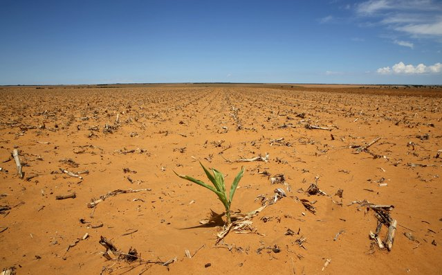 A maize plant is seen at a field in Hoopstad, a maize-producing district in the Free State province, South Africa, January 13, 2016. (Photo by Siphiwe Sibeko/Reuters)