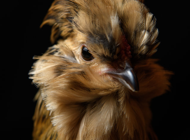 A Belgian Bantam is seen at the National Poultry Show on November 20, 2016 in Telford, England. (Photo by Leon Neal/Getty Images)