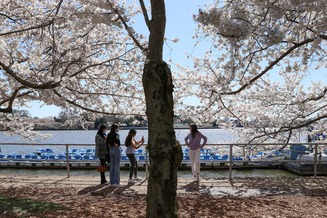 Visitors take photos near the annual cherry blossoms at the Tidal Basin along the National Mall in Washington, U.S., March 29, 2021. (Photo by Tom Brenner/Reuters)