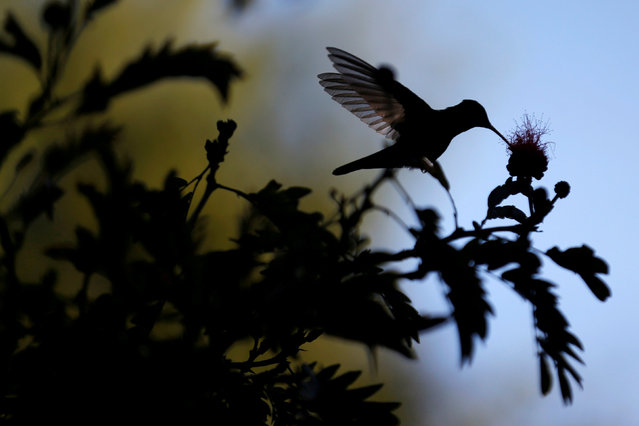A hummingbird is photographed during the National Orchid Exhibition at the Jose Celestino Mutis Botanical Garden in Bogota, Colombia Septermber 20, 2018. Picture taken September 20, 2018. (Photo by Luisa Gonzalez/Reuters)