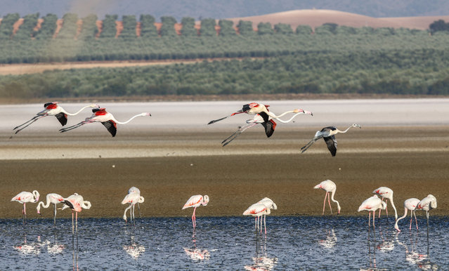 Flamencos feed at the laguna of this natural reserve in Fuente de Piedra, Spain on August 13, 2020. The reserve has hosted about 10,000 breeding pairs of common flamenco and the birth of 6,030 chickens this year. This wetland is one of the most important for the reproduction of the flamingo populations of the Mediterranean and north-west Africa. (Photo by Lorenzo Carnero/Zuma Wire/Rex Features/Shutterstock)
