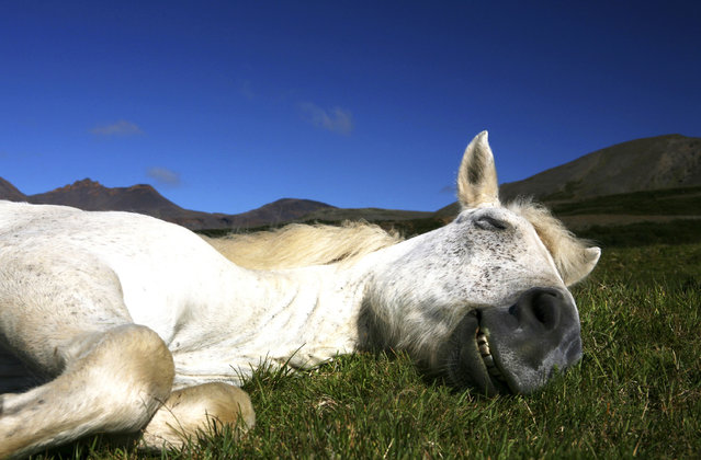 A horse closes its eyes with a smile on its face. (Photo by Bragi J. Ingibergsson/Caters News)