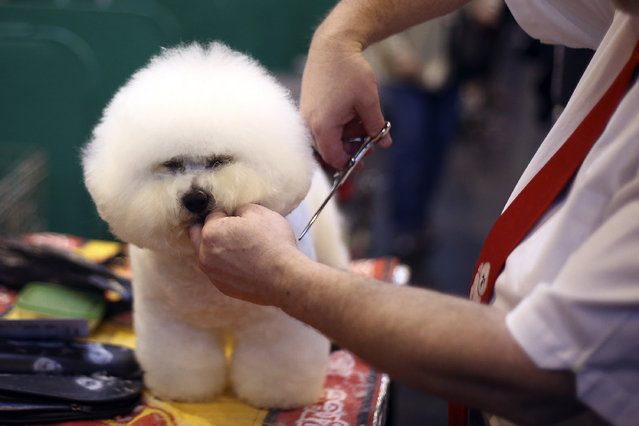 An owner grooms his Bichon Frise on the fourth and final day of Crufts dog show at the National Exhibition Centre on March 8, 2015 in Birmingham, England.  First held in 1891, Crufts is said to be the largest show of its kind in the world, the annual four-day event, features thousands of dogs, with competitors travelling from countries across the globe to take part and vie for the coveted title of 'Best in Show'. (Carl Court/Getty Images)