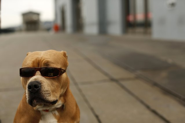 A pit bull dog named OJ wears sunglasses as he stands on The Embarcadero with his owner in San Francisco, California March 16, 2015. (Photo by Robert Galbraith/Reuters)