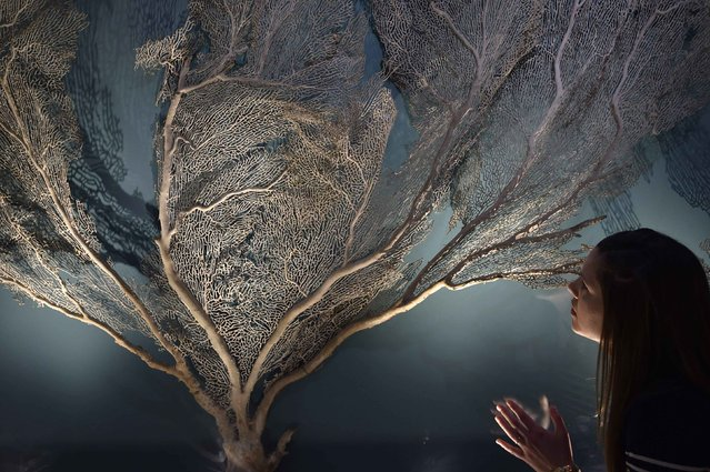 Museum employee Emily views  a giant Turbinaria coral specimen at the Natural History Museum in west London March 25, 2015. (Photo by Toby Melville/Reuters)