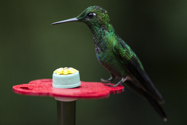 A Green Crowned Brilliant is pictured at a Hummingbird feeding station on January 15, 2016 in Alajuela Costa Rica. (Photo by Dan Kitwood/Getty Images)
