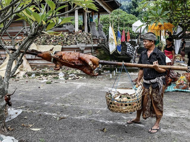 A unique tradition in Timbrah village is held every Sasih Kaulu (eighth month in Balinese calendar) by offering roasted pig at Pura Dalem. Each family usually offer 1 pig, but this kind offering is is not an obligation. (Photo by Putu Sayoga/Getty Images)