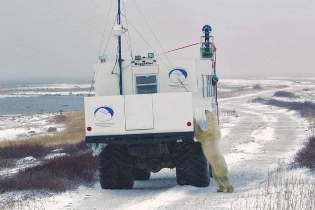 The Google Street View Trekker, mounted on a Tundra Buggy, captures images of Churchill's polar bears in Manitoba, Canada, on February 26, 2014. (Photo by Google)