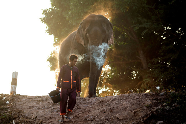 A mahout walks with an elephant after bathing him in a river, before taking part in an elephant festival, which organisers say aims to raise awareness about elephants, in Sayaboury province, Laos February 17, 2017. (Photo by Phoonsab Thevongsa/Reuters)