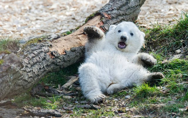 In this picture taken Saturday March 22, 2014, one of the polar bear twin cubs  plays in the  enclosure at Hellabrunn Zoo in Munich, Germany. The polar bear cubs were born on December 9,  2013 and were introduced this week to the public for the first time. (Photo by Marc Mueller/AP Photo/DPA)