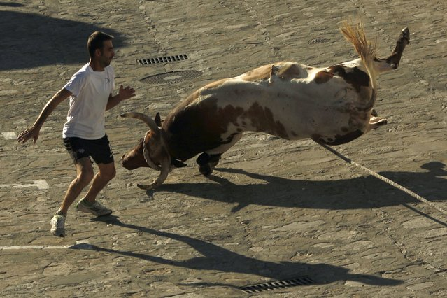 "A bull falls next to a runner during the ""Toro de Cuerda"" (Bull on Rope) festival in Grazalema, southern Spain, July 20, 2015. (Photo by Jon Nazca/Reuters)"