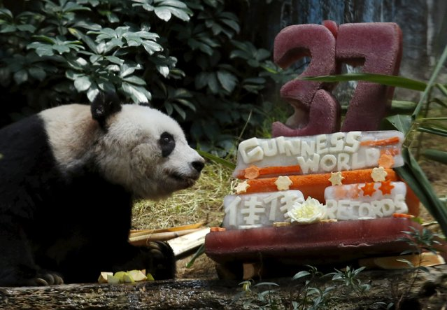 Giant panda Jia Jia looks at a birthday cake made from ice and vegetables prepared for her by Ocean Park staff during her 37-year-old birthday at the Hong Kong Ocean Park, China, July 28, 2015. (Photo by Bobby Yip/Reuters)