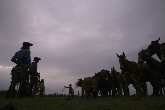 In this May 17, 2017 photo, cowboys prepare their mounts to continue their journey in Corumba, in the Pantanal wetlands of Mato Grosso do Sul state, Brazil. The crossing of the Taquari River is a key passage in the journey, where they have to guide 520 oxen through the depths of the overflowing river, all from the top of a horse. (Photo by Eraldo Peres/AP Photo)