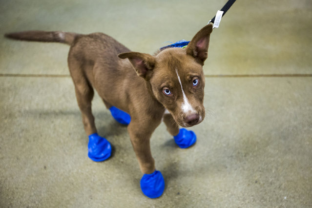 Arrow sports his new elastic booties at a PetSmart in Tempe, Ariz. on Tuesday, June 20, 2017. (Photo by Angie Wang/AP Photo)