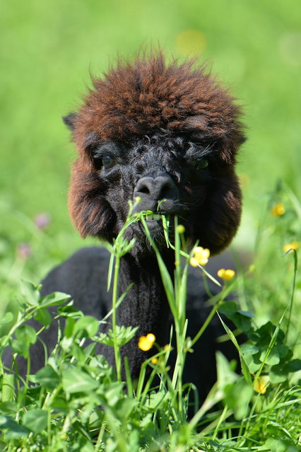 A  shorn alpaca sits in grassland at Alpaca-Land farm in Unken in the Austrian province of Salzburg, Sunday July, 6, 2014. The annual shearing makes the animals more comfortable for the summer months. (Photo by Kerstin Joensson/AP Photo)