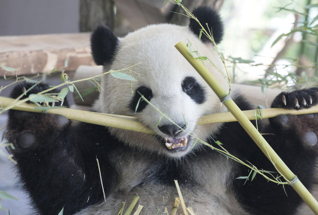 One of the two Chinese panda bears Meng Meng and Jiao Qing eats after the official opening of their enclosure at the Zoo in Berlin, Germany, Wednesday, July 5, 2017. (Photo by Axel Schmidt/Pool Photo via AP Photo)