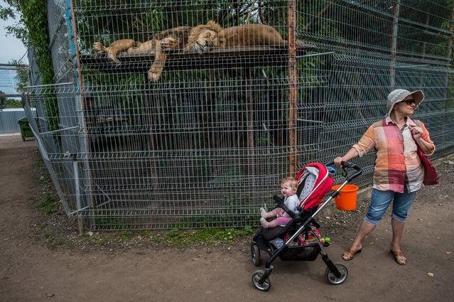 """Jo-Anne McArthur's book of photographs puts the spotlight on ethics of zoos around the world. Accompanied by essays by Born Free Foundation's Virginia McKenna and philosopher Lori Gruen, the images and stories are also shared online through """"A Year of Captivity"""". Here: Lions, Lithuania, 2016. (Photo by Jo-Anne McArthur/Born Free Foundation/The Guardian)"""