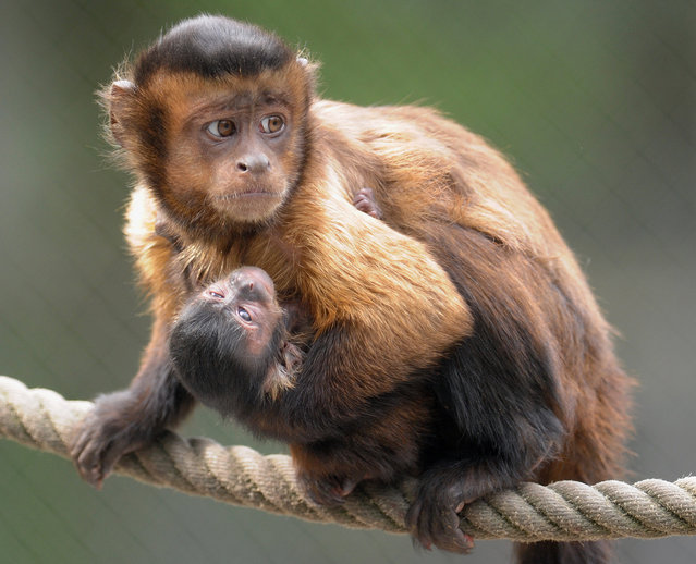 An 8-day-old tufted capuchin baby is carried by its mother through their enclosure at the Serengeti animal park in Hodenhagen, western Germany, on May 14, 2012