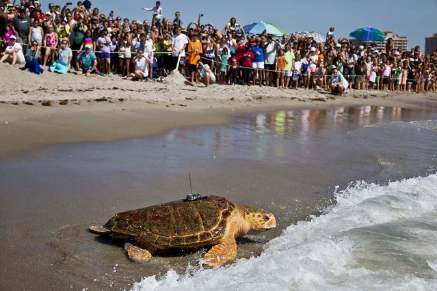 Kahuna returns to the ocean after nearly two years of rehabilitation at the Loggerhead Marinelife Center