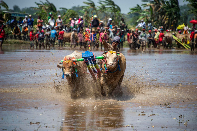 A participant holds onto his livestock as he takes part in a buffalo race in Probolinggo, East Java on August 29, 2017. Some fifty teams took part in the annual buffalo race to mark the nation' s 72 nd Anniversary of independence. (Photo by Juni Kriswanto/AFP Photo)