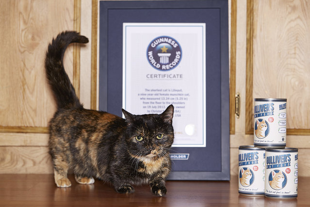 The shortest cat is Lilieput, a nine-year-old female munchkin cat, who measured 5.25 inches from the floor to the shoulders and is owned by Christel Young of Napa, California. (Photo by James Ellerker/Guinness World Records)