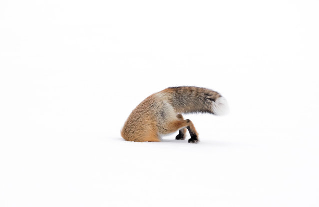 """11-14 years old category. Stuck In by Ashleigh Scully, USA. Deep snow had blanketed the Lamar valley in Yellowstone national park, Wyoming, and the day was cold and overcast. This female American red fox was hunting beside the road, stepping quietly across the crusty surface of the snow. The image, says Ashleigh, """"illustrates the harsh reality of winter life in Yellowstone"""". (Photo by Ashleigh Scully/Wildlife Photographer of the Year 2017)"""