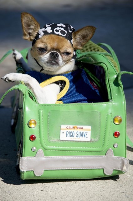 Pekingese-chihuahua mix Rico Suave poses in his custome carrying bage at a Halloween dog costume parade and contest in Long Beach, California, October 28, 2012. (Photo by Robyn Beck/AFP Pfoto)