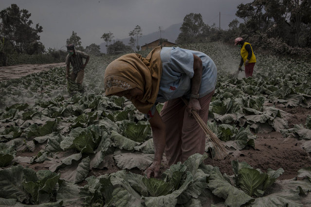 Villagers clean their cabbage fields after their village is hit by ash from the eruption of Mount Sinabung on October 13, 2014 in Berastagi, Karo district, North Sumatra, Indonesia. (Photo by Ulet Ifansasti/Getty Images)