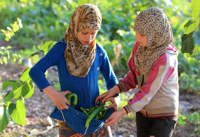 Girls pick peppers in the rebel-held al-Sheikh Said neighbourhood of Aleppo, Syria September 1, 2016. (Photo by Abdalrhman Ismail/Reuters)