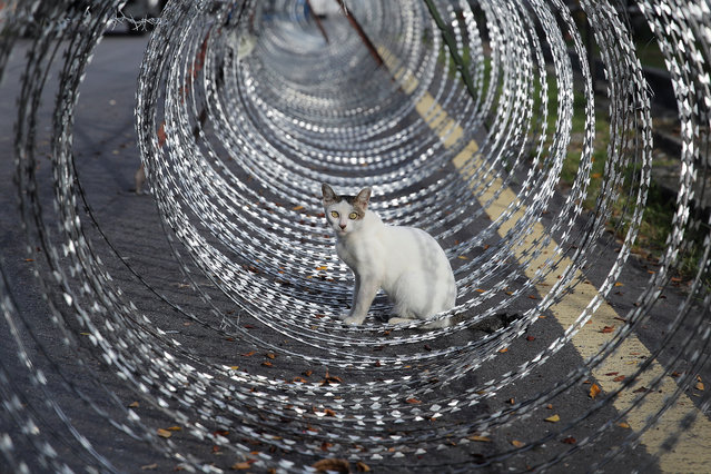 A cat is seen in the middle of barbed wire surrounding an area under lockdown in Petaling Jaya, outside Kuala Lumpur, Malaysia, 11 May 2020. Barb wire fencing has been installed in the PJ Old Town areas, closing off three zones to outsiders after 26 coronavirus cases were detected. (Photo by Fazry Ismail/EPA/EFE)