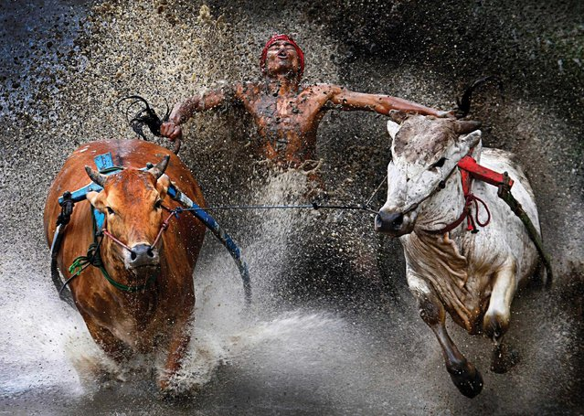 This image by photographer Wei Seng Chen, Malaysia, won 1st prize in the Sports Action Single category of the 56th World Press Photo Contest, it was announced by the organizers in Amsterdam, The Netherlands, on 15 February 2013. It shows a jockey during the Pacu Jawi Bull Race in Batu Sangkar, West Sumatra, Indonesia, 12 February 2012. A jockey, his feet stepped into a harness strapped to the bulls and clutching their tails, shows relief and joy at the end of a dangerous run across rice fields. The Pacu Jawi (bull race) is a popular competition at the end of harvest season keenly contested between villages. (Photo by Wei Seng/EPA)