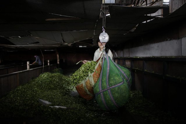 In this Sunday, November 16, 2014 photo, a Nepalese employee weighs tea leaves before it is processed at Kanyam Tea Factory in Illam district, around 500 kilometers (310 miles) from Katmandu, Nepal. (Photo by Niranjan Shrestha/AP Photo)