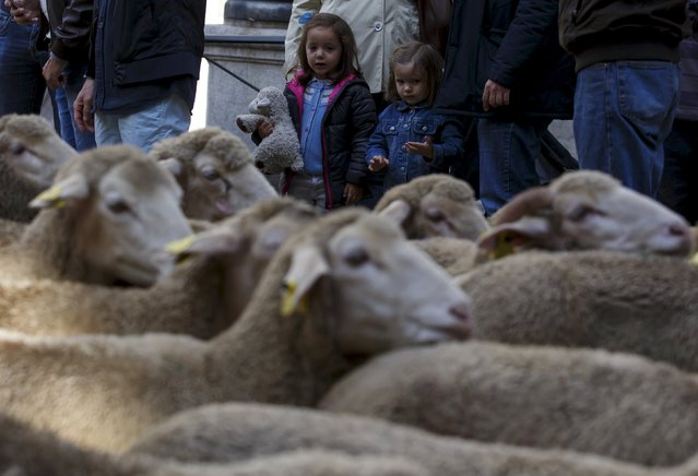 A girl holds a soft toy depicting a sheep as a flock of around 2000 merino sheep walk past her during the annual sheep parade through Madrid, Spain, October 25, 2015. (Photo by Sergio Perez/Reuters)